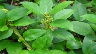 "Diabetes treatment: http://tinyurl.com/diabetes-in-three-weeks These top 5 natural herbs for diabetes have shown some promise in lowering blood sugar, boosting insulin sensitivity, reducing high blood pressure and cholesterol, and more.  1. Gymnema Sylvestre  This plant's Hindi name translates as ""sugar destroyer,"" and the plant is said to reduce the ability to detect sweetness. It's regarded as one of the most powerful herbs for blood-sugar control. It may work by boosting the activity of enzymes that help cells use glucose or by stimulating the production of insulin. Though it hasn't been studied ­extensively, it's not known to cause serious side effects.  2. Bitter Melon The aptly named bitter melon is thought to help cells use glucose more effectively and block sugar absorption in the intestine. When Philippine researchers had men and women take bitter melon in capsule form for three months, they had slight, but consistently, lower blood sugar than those taking a placebo. Gastrointestinal problems are possible side effects.  3. Prickly Pear Cactus The ripe fruit of this cactus has been shown in some small studies to lower blood sugar­levels. You may be able to find the fruit in your grocery store, but if not, look for it as a juice or powder at health food stores. Researchers speculate that the fruit may possibly lower blood sugar because it contains components that work similarly to insulin. The fruit is also high in fiber.  4. Bilberry This relative of the blueberry contains powerful antioxidants in its fruit and leaves. These anti­oxidants, called anthocyanidins, seem to help prevent damage to tiny blood vessels that can result in nerve pain and retinopathy (damage to the eye's retina). Animal studies have also suggested that bilberry may lower blood sugar.  5. Ginseng Known for its immune-boosting and disease-fighting benefits, this Chinese herb has several positive diabetes studies behind it. Re­searchers have found that ginseng slows carbohydrate absorption; increases cells' ability to use glucose; and increases insulin secretion from the pancreas. A team from the University of Toronto has repeatedly demonstrated that ginseng capsules lower blood glucose 15 to 20 percent compared to placebo pills.  Diabetes treatment: http://tinyurl.com/diabetes-in-three-weeks"