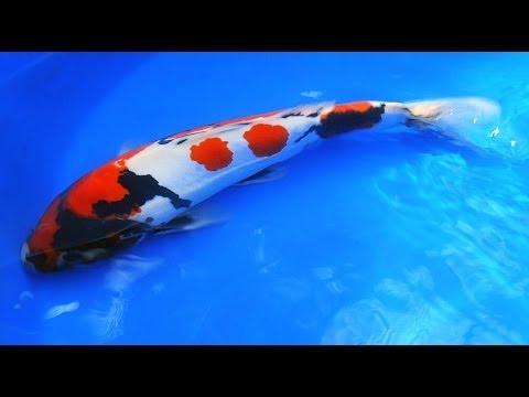 Japanese Showa Koi Fish Tutorial - Part 2