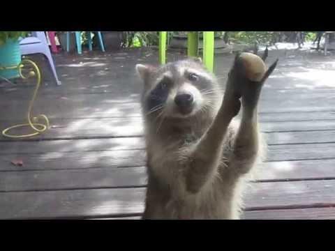 Rocksy the Raccoon knocks at the door for food!  LOL