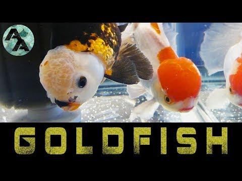 Central Florida Koi and Goldfish Show 2018 | Goldfish edition