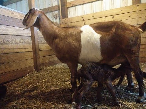 Pulling a Big Baby Goat During Labor!!!