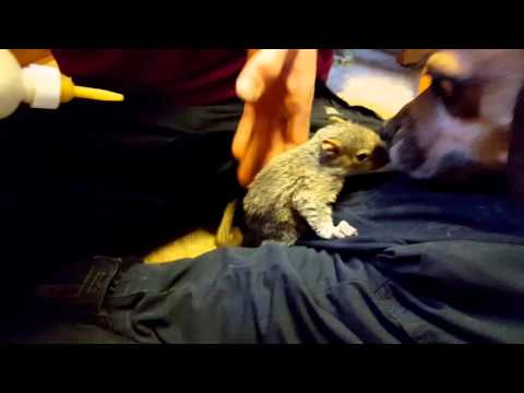 Shake and Bake the squirrels drinking some milk  RESCUED