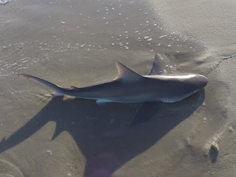 Brown Shark / Sandbar Sharks Surf Fishing Jones Beach