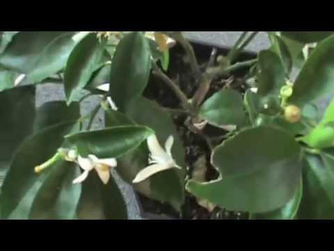 Potted lemon/lime pruning