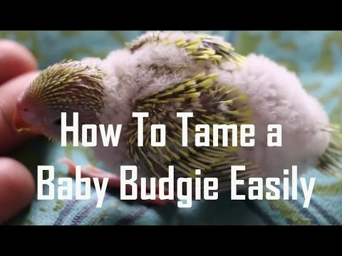 How to tame a Baby budgie easily | Baby Budgies Growth Stages | Bonding With & Taming Your Budgie
