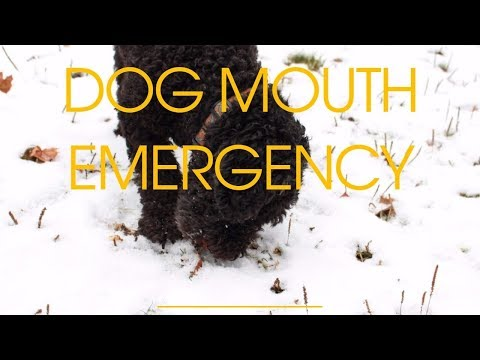 Dog Mouth Emergency: What To Do At Home