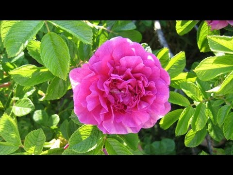 How To Grow Roses From Stem Cuttings SUPER EASY