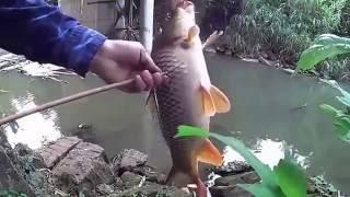 Berburu Ikan Emas Besar Dengan Busur Panah di Sungai