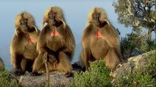 Defending a Monkey Harem | Clever Monkeys | BBC Earth