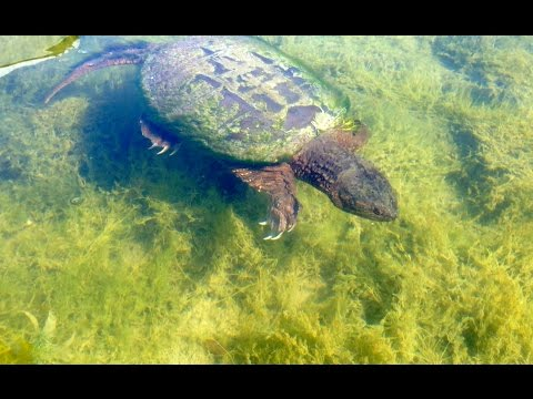 HUGE SNAPPING TURTLE CATCH! e61