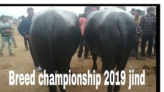 FOR SALE - Show Quality Murrah Bull at Jind(Haryana) Videos & Books