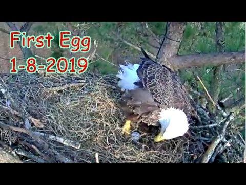 Eagles Fight On Where To Put Limb, Kiss and Make Up,  First Egg 1-8-2019