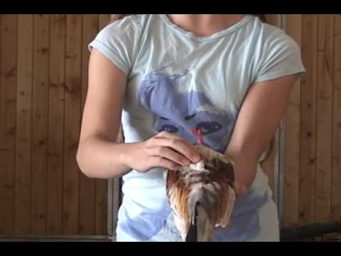 Chicken Showmanship Demonstration