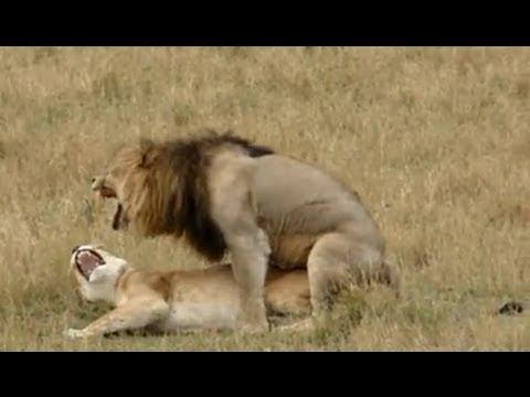 Xxx Mp4 Lion Sex As Quick As A King 3gp Sex