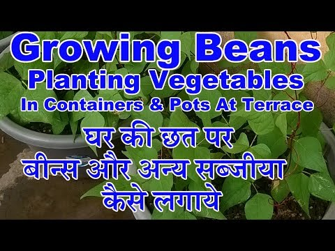 Growing Beans:Planting Vegetable at Terrace in Pot and Containers