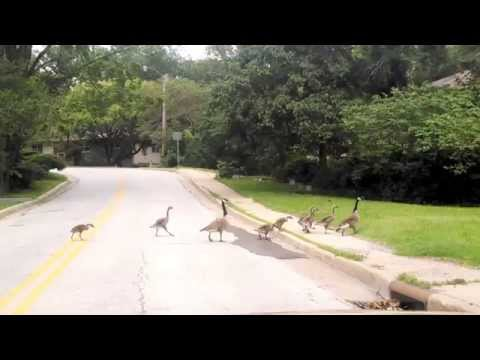 Having a bad day - hurt gosling can't keep up
