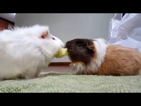Pigs fighting over apple