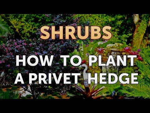How to Plant a Privet Hedge