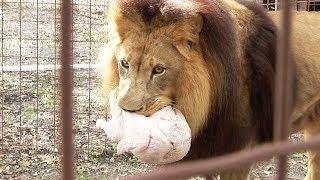 4 Turkeys 3 Tigers 1 Lion...