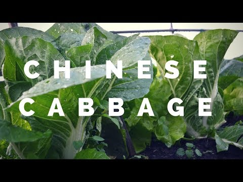 Chinese cabbage for spring harvest