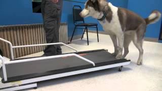 How To Train A Dog To Walk Or Run On A Treadmill Tyler Muto Dogmanship