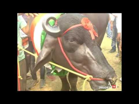 Meet Yuvraj: Just 9, this giant bull is 17-time champ and worth Rs 9 crore