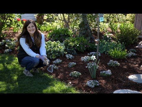 Mass-Planting 'Blushing Princess' Alyssum 😍 🌸// Garden Answer