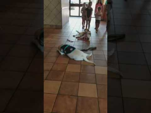 Service Dog Down Stay At School
