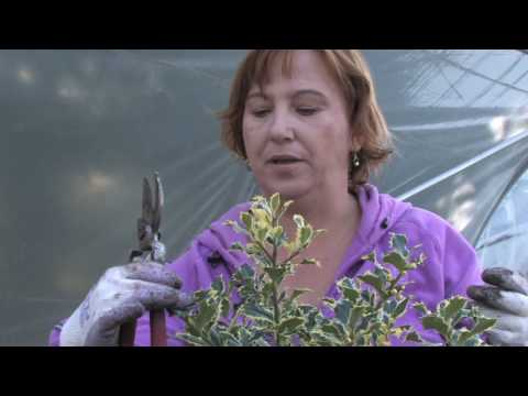 Plant Care & Gardening : How to Prune Holly Shrubs