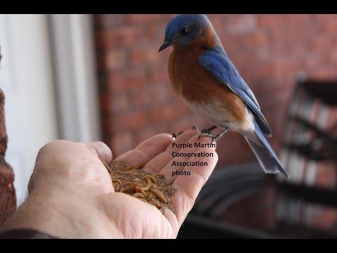 PMCA Bluebirds