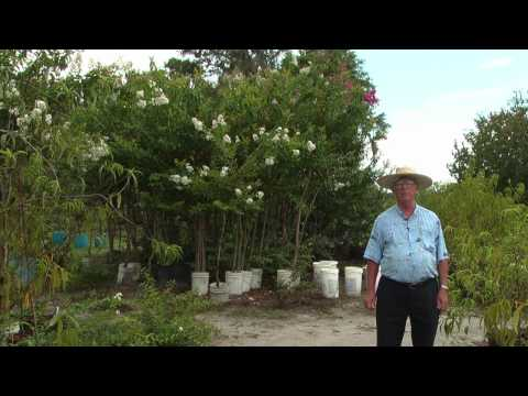 How to Grow Crepe Myrtles