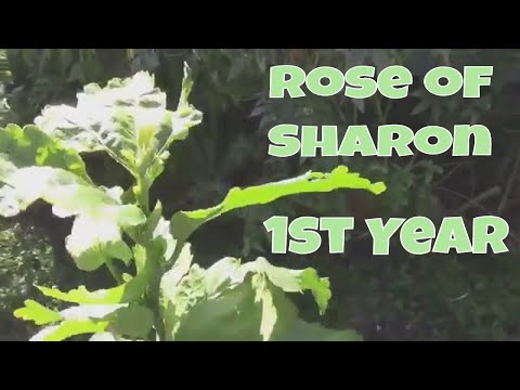 Growing Rose of Sharon From Seed - The First Year of Growth
