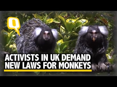 The Quint: Campaigners In The UK Demand New Laws For Monkeys