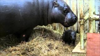 Baby pygmy hippo born at Marwell Zoo