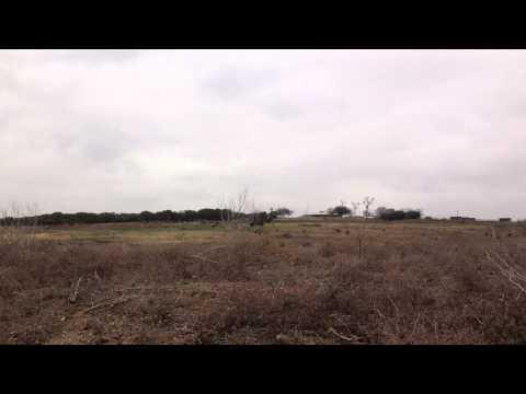 Peregrine falcon catches duck (falconry)