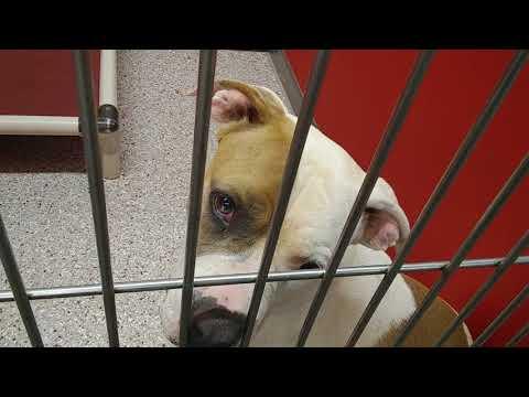 Pima Animal Care Center 5-12-18 Doggie Adoptable - Remi 3 Year Old Female Animal#A633777