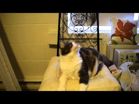 Janice the Cat: Playing with her mouse on a string