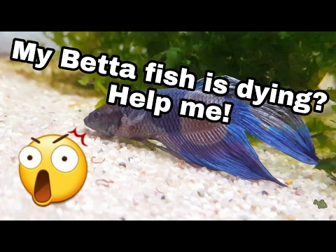 My Betta fish is dying?! Help me!