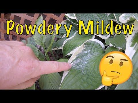 Powdery Mildew (Fungus) Treatment Removal - DIY lawn and garden