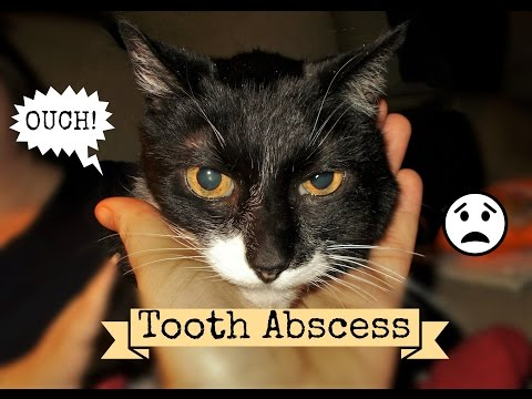 Cat Abscess What It Is, What To Do & Can You Afford The Vet? Scrubby's Bad Tooth Abscess Care