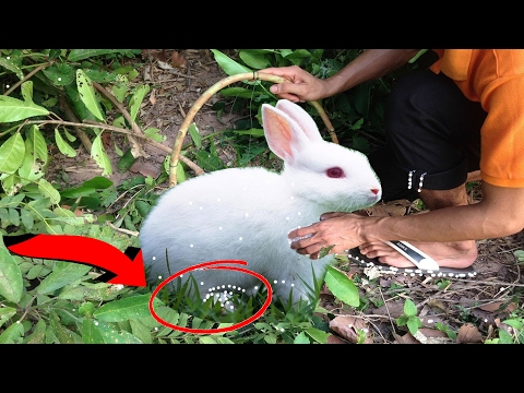 Catching Rabbit | how to make a rabbit simple trap| how to catch rabbit by trapping in Cambodia
