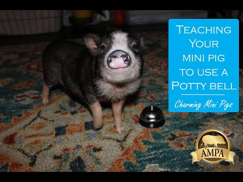 Teaching a Mini Pig to Ring a Bell to go Potty Outside
