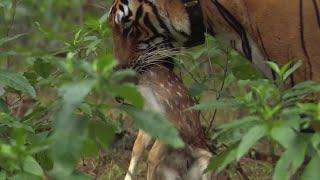 Tiger hunts Baby Deer | BBC Earth