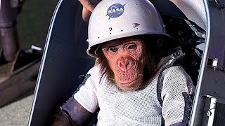 What Happened to Ham in Space? *Sad Story of Ham*