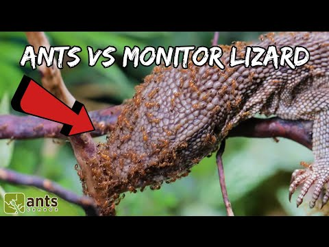 Xxx Mp4 I Gave My Fire Ants A Monitor Lizard 3gp Sex