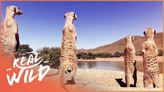 Kalahari Meerkats: Gangs Of Kalahari   Real Wild
