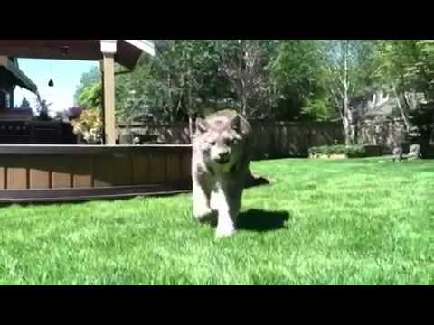 Pet Lynx