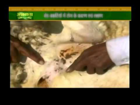Know about symptoms and causes of diseases in sheeps and goats