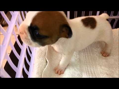 10 day old FLAT CHESTED French Bulldog puppy with Difficulty Breathing