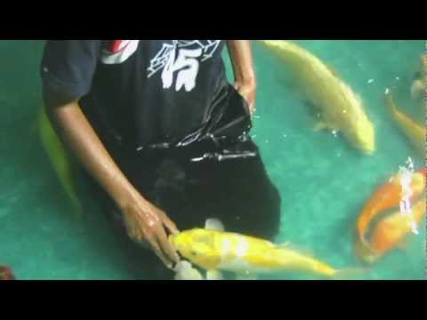 Hand feeding Smart Koi while draining the pond